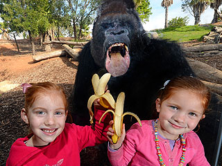 The Daily Treat: This Pic Is Bananas! Gorilla Photobombs Kids