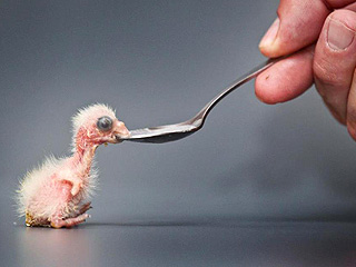 Creepy or Cute? Baby Parrot Eats from a Spoon