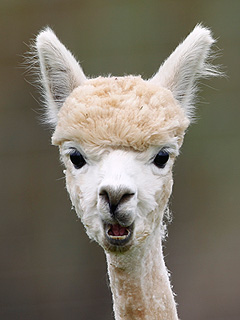The Daily Treat: This Alpaca Just Saw You Naked