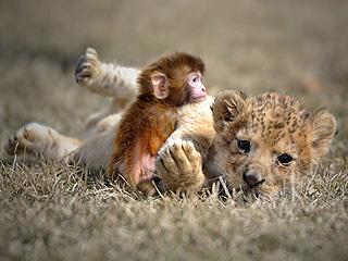 The Daily Treat: How to Play Like a Baby Monkey and Lion Cub