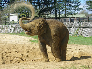The Daily Treat: Elephant Is So Excited to Be Covered in Sand
