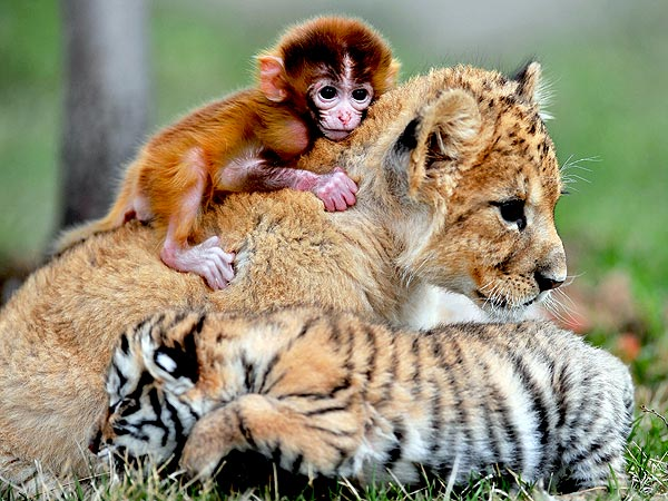 The Daily Treat: This Baby Monkey, Lion and Tiger Are Best Friends Fur-Ever