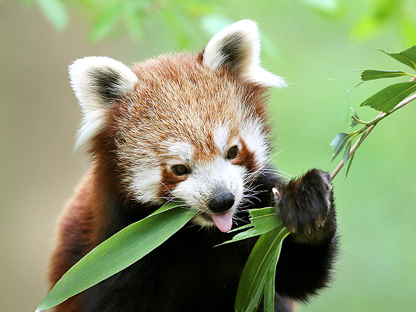 Red Panda Eats Bamboo in Germany: Photo