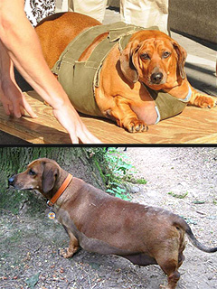 Biggest Loser Dachshund Obie Shows Off 40-Lb. Weight Loss