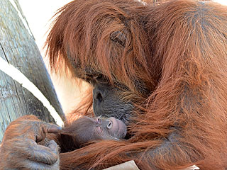 The Daily Treat: Mama Orangutan Cuddles Her Newborn