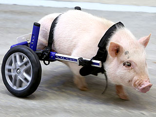 The Daily Treat: This Little Piggy Walks and Rolls