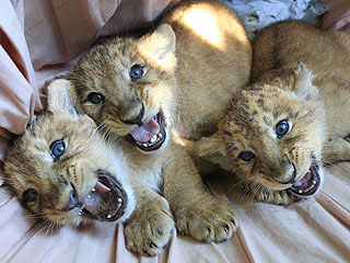 The Daily Treat: Meet Three Adorable Lion Cubs