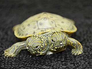PHOTO: One Turtle, Two Heads – You Have to See This