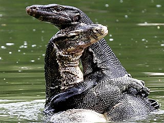 The Daily Treat: Monitor Lizards Just Want to Hug It Out, Okay?