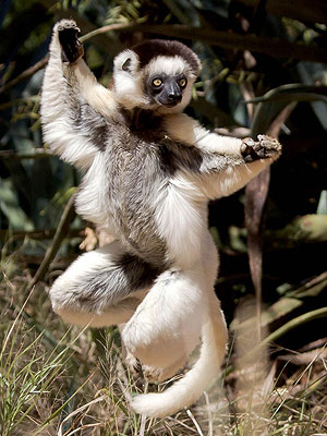 The Daily Treat: This Lemur Is Trying to Practice His T'ai Chi