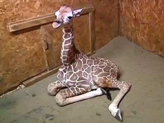 VIDEO: The Cutest Giraffe You'll See All Day