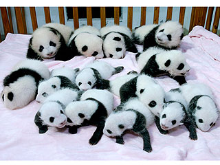 PHOTO: See 14 Pandas Sleeping in a Crib