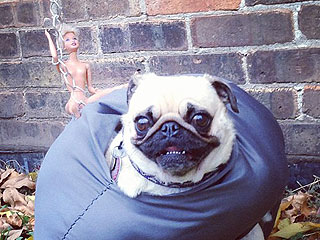PHOTO: This Pug Came in Like Miley's Wrecking Ball