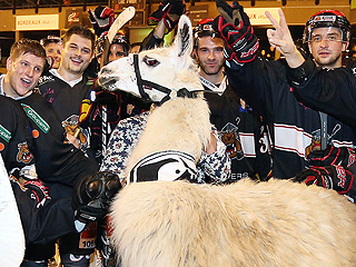 PHOTO: After Drunken Abduction, Serge the Llama's Hanging Out with a Hockey Team