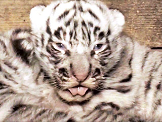 Three White Tiger Cubs Are Better Than One