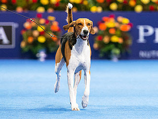 American Foxhound Jewel Wins National Dog Show