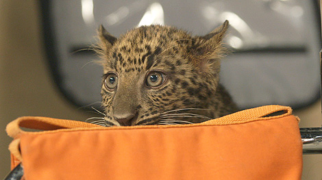 Baby Leopards Run Amok (and on Top of Staffers) at PEOPLE.com