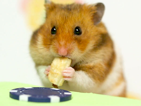 Hot Dog Eating Contest Hamster