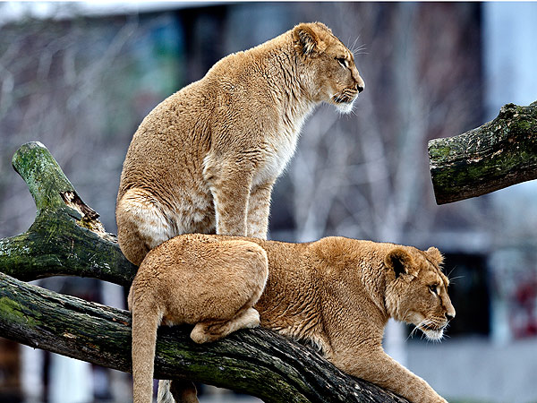 Danish Zoo Defends Decision to Euthanize Two Lion Cubs & Their Aging Parents