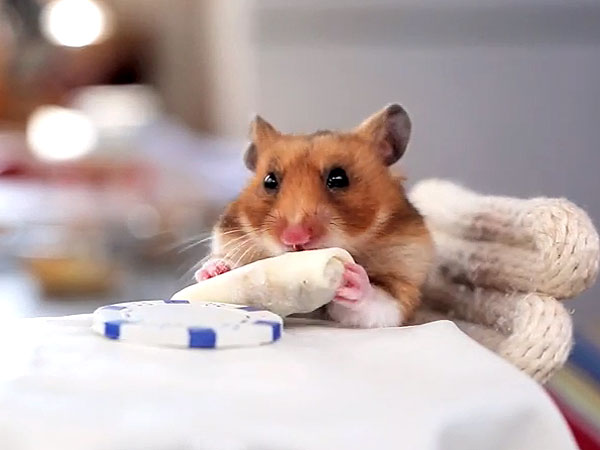 Watch Hamster Eat the Tiniest Pizza Slice Ever| Cute Pets, Funny Pet Videos, Funny Pets, Pet Videos