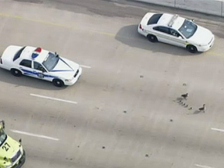 Watch a Family of Geese Stop Traffic on an Illinois Interstate