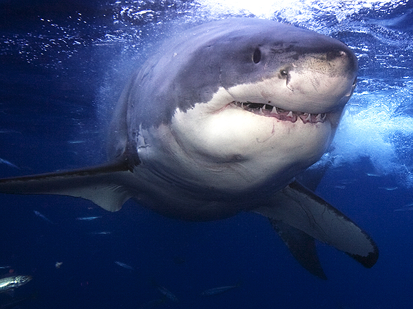 Happy Shark Week: Our Six Favorite Shark Videos of 2014 (So Far)