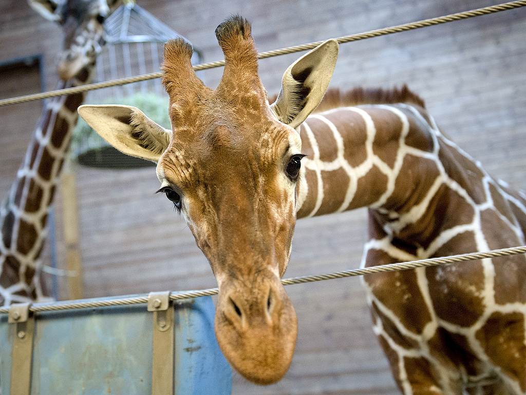 Woman Cited for Climbing into Giraffe's Pen at Wisconsin Zoo