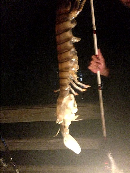 How's This For Jumbo? Florida Fisherman Pulls Up an 18-Inch Shrimp
