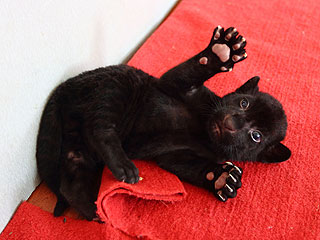 Black Tiger Cub Tries to Terrify, Looks Purr-fectly Precious Instead