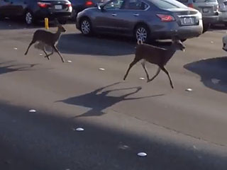 WATCH: Deer Stroll Through Rush Hour Traffic on Golden Gate Bridge