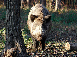 It's No Trick: Wild Hogs to Make Florida Community's Halloween Extra Scary