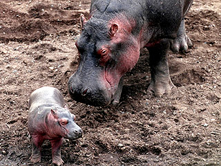 Hippo on Birth Control Gives Birth in L.A.