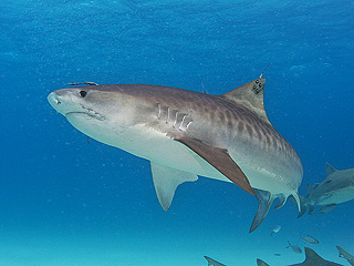 Man Punches Tiger Shark in the Face to Save His Friend