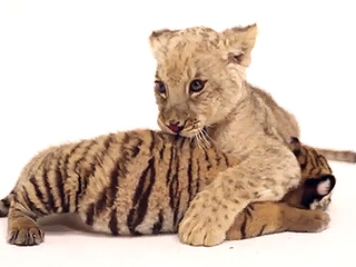 Two Itty Bitty Cubs Explain Why Big Cat Week Is a Huge Deal (VIDEO)
