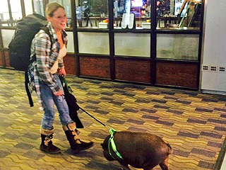 Emotional Support Pig Kicked Off Flight After Stinking Up Cabin