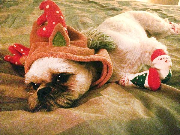 How to Put Socks on Your Dog This Christmas  Dogs, Funny Pets, Christmas