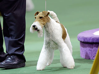 And Westminster's Best in Show Is ...