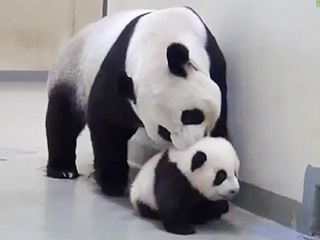 Mama Panda Brings Her Little One Back to Bed