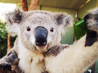 Koalas Are Taking Selfies Now | Animals & Pets, Cute Pets, Exotic Animals & Pets, Funny Pets, Pet News, Talented Pets, Unusual Pets, Zoo Animals