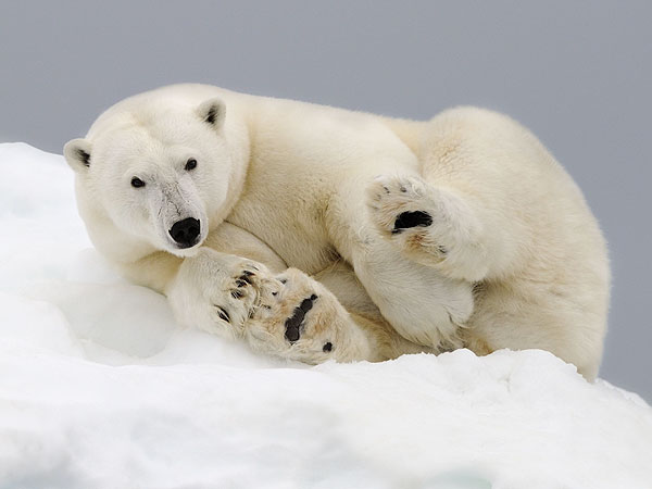 polar bear 600x450 The Daily Treat: 7 Reasons to Celebrate Earth Day