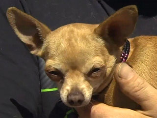 Tiny Chihuahua Saves Family from House Fire
