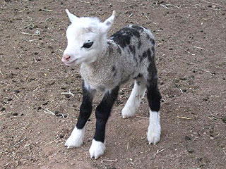 Meet the 'Geep': Butterfly the Goat/Sheep Hybrid is Super Cute