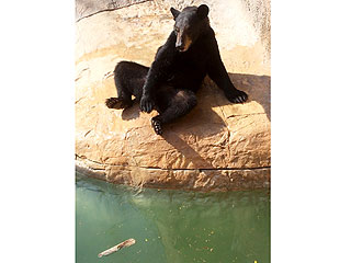 Texas Bear Escapes Zoo Enclosure to Swim with Seals