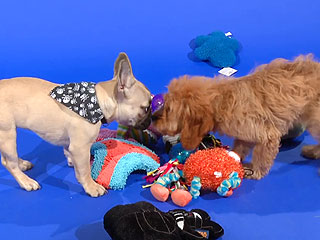 A One-Minute Video of Puppies Playing in Our Studio? Yes, Please!