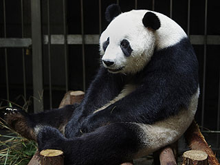 Panda Fakes Pregnancy to Receive More Treats (We're Not Judging)