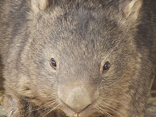 World's Oldest Wombat Is a 29-Year-Old Virgin