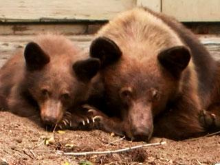Mama Bear Is Reunited with Cub Stuck in Trash Bin (VIDEO)