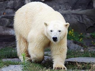 Polar Bear Breaks into Home in Alaskan Village