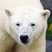 Polar Bear Breaks into Home in Alaskan Vil