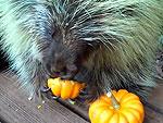 No One Appreciates Pumpkins More Than this Porcupine